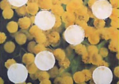 """Souvenir…"" mimosas 1-198x159cm"